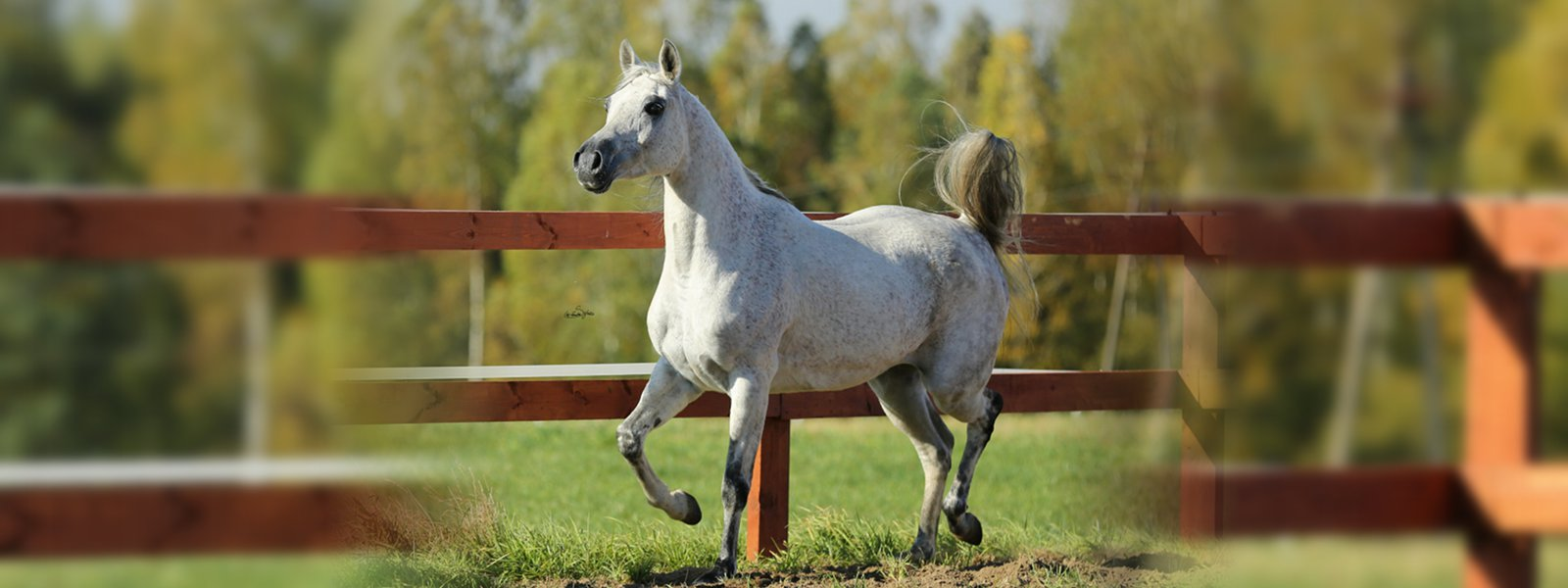 Arabian Horses For Sale Mares